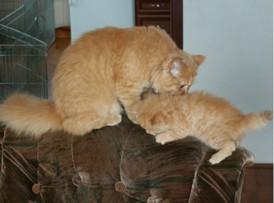 hodowla koty