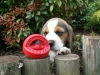 beagle10