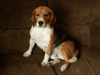 beagle11