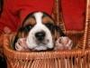 beagle1300