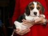 beagle8