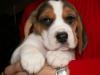 beagle9