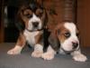 psy-beagle-1