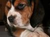 psy-beagle-2