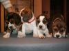 psy-beagle-3