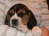psy-beagle-4