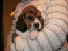 psy-beagle-6