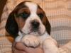 psy-beagle-7