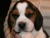 psy-beagle-8