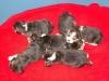beagle-szczeniaki-10