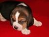 beagle-szczeniaki-11