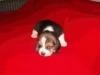 beagle-szczeniaki-2