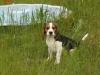 beagle-szczeniaki-3