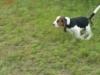 beagle-szczeniaki-4