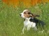 beagle-szczeniaki-6