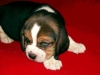 beagle-szczeniaki-7