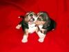 beagle-szczeniaki-8