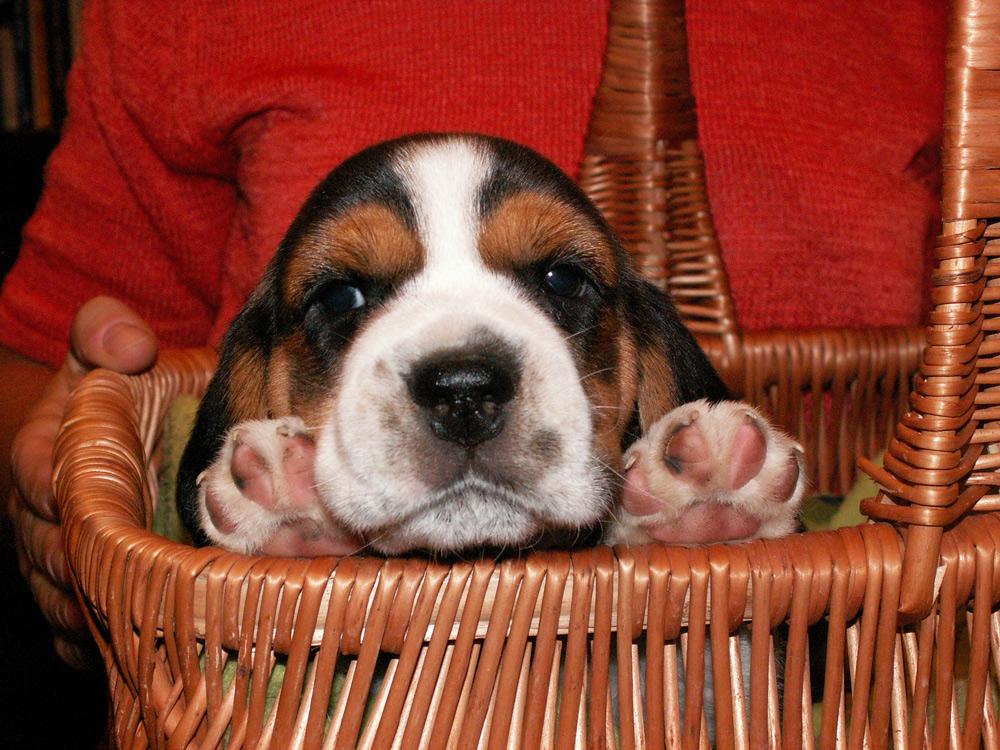 szczeniak-beagle